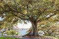 Ficus tree Botanic Garden Sydney
