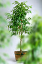Ficus tree in pot Stock Photos