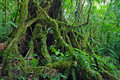 Ficus Tree roots in rainforest the jungle, Costa Rica Royalty Free Stock Photo