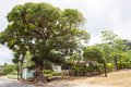Ficus tree in the tropes big on a little island of tonga Stock Photography