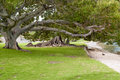Ficus trees in australia roots trunk and branches of a park perth Royalty Free Stock Photos