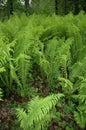 Fiddlehead Ferns Royalty Free Stock Photos