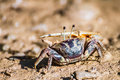 Fiddler crab big asymmetric claw of Stock Photos