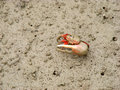Fiddler crab at mangrove forest in leizhou peninsula guangdong province china Stock Photo