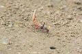 Fiddler crab near a mink in sand Stock Image