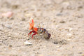 Fiddler crab near a mink in sand rolls the ball out of the sand Stock Image