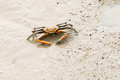 Fiddler crab on sand beach Royalty Free Stock Photography