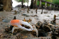 Fiddler Crab walking in the mangrove Stock Photo