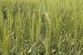 Field зе еная пшеница Стоковые Фотографии RF