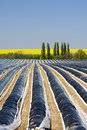 Field of asparagus, rows covered with foil Stock Photography