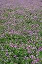 Field of astragalus in japan they are planted to enrich the soil in the rice Stock Photography