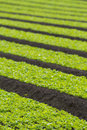 Field of baby lettuce leaf salad plants Royalty Free Stock Photo