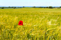 A field of barley and a blooming corn poppy on the island langeland in summer in the background the coast of the baltic sea and Stock Photo