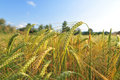 Field of barley Royalty Free Stock Photo