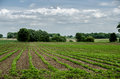 Field of bean crops on a farm green growing under blue sky with trees in the background Royalty Free Stock Photography