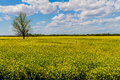 Field of Beautiful Bright Yellow Flowering Canola (Rapeseed) Plants Royalty Free Stock Photo