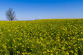 Field of Beautiful Bright Yellow Flowering Canola Royalty Free Stock Photo