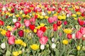Field of beautiful colorful tulips in the netherlands big Royalty Free Stock Photo