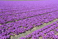 Field with beautiful purple flowers in Holland Royalty Free Stock Image
