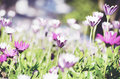 Field of beautiful spring lily flowers Royalty Free Stock Photo
