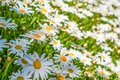 Field of white daisy flowers 3 Royalty Free Stock Photo