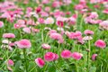 Field of bellis with selective focus beautiful Royalty Free Stock Image