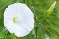 Field bindweed Royalty Free Stock Photo
