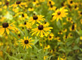 Field of Black Eyed Susan Royalty Free Stock Photo