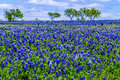 A Field Blanketed with the Famous Texas Bluebonnet