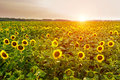 Field of blooming sunflowers, landscape background. Royalty Free Stock Photo