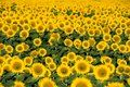 Field of blooming sunflowers on sunny day. Summer landscape Royalty Free Stock Photo