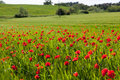Field with blossoming poppies horizontal photo Royalty Free Stock Photos
