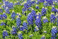 Field of Blue Bonnets Royalty Free Stock Photo