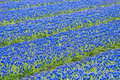 A field of blue common grape hyacinths Royalty Free Stock Photo