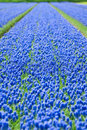 A field of blue common grape hyacinths Royalty Free Stock Photography