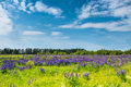 Field of blue lupines against the blue sky. Royalty Free Stock Photo