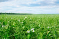 Field and blue sky with flowering peas Stock Image