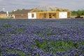 Field of bluebonnets in bloom Spring Willow City Loop Rd. TX