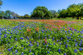 A Field of Bluebonnets and Indian Paintbrush wildflowers Near a Wooden Fence Royalty Free Stock Photo