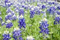 Field of Bluebonnets Royalty Free Stock Photo