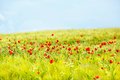 Field of bright red poppy flowers in summer Royalty Free Stock Photo