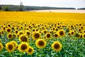 A field with bright yellow blooming sunflowers and hills with fields of wheat against a blue sky Royalty Free Stock Photo