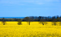 Field of bright yellow rapeseed Royalty Free Stock Photos
