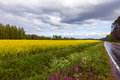 Field of Bright Yellow rapeseed Stock Photography