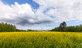 Field of Bright Yellow rapeseed Royalty Free Stock Photography