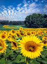 Field of bright yellow sunflowers on sunny day Royalty Free Stock Photo