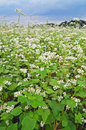 Field of buckwheat Royalty Free Stock Photo