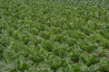 Field of cabbage young Stock Photo