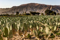 Field of cactuses in front a mountain range Royalty Free Stock Photography