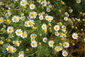 Field of camomile Stock Photo